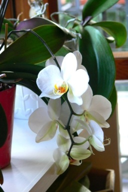 Reflowered orchid