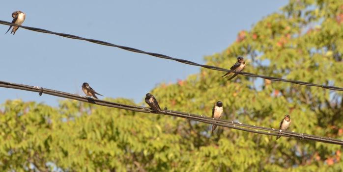 fresno del torote swallow