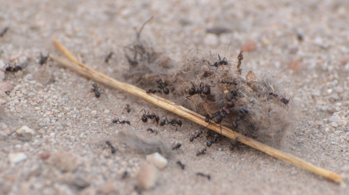 ant rabbit carcass fresno del torote