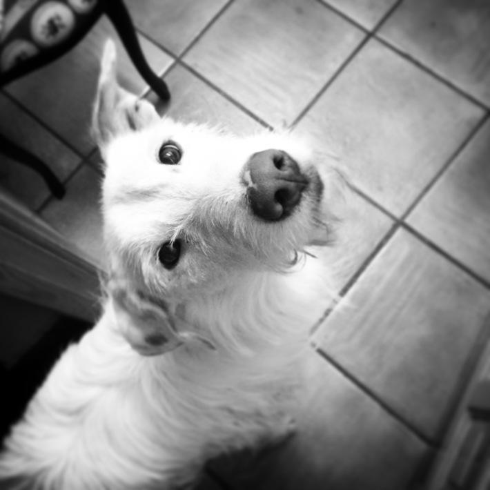 podenco cuenca perro dog rescue adopt