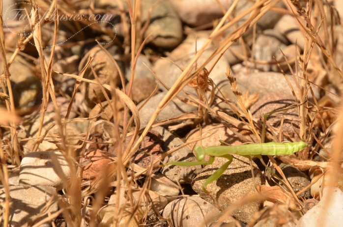Delta del Llobregat praying mantis